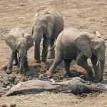 elephants-rescued-from-mud 1
