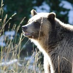 Yellowstone-National-Park-Wildlife-Grizzly-Bear