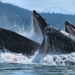 1Two_Humpbacks