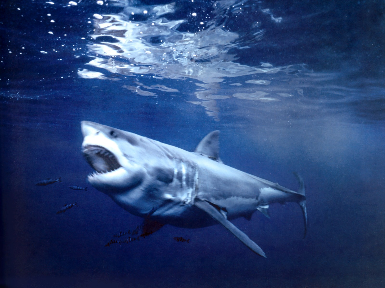 Guadalupe island mexico related keywords guadalupe for Guadalupe island fishing