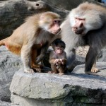 "Male baboons tend to be big and ornery, but they are devoted to their offspring and will risk their lives to get them out of a jam.  All baby baboons might look alike to untrained human eyes, but Duke University researcher Susan Alberts and colleagues found that dads time and again give preferential treatment to their own genetic offspring.  ""If male baboons care for their kids -- and baboons are almost among the least likely societies where you would expect to see this -- then it suggests that paternal care has really deep evolutionary roots in primates,"" Alberts said."