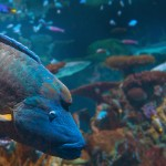 animals-humpheadwrasse-header-web
