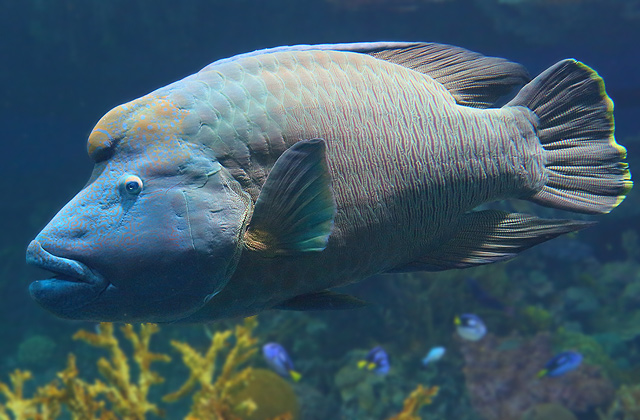 The humphead wrasse of baltimore maryland for Maryland freshwater fish