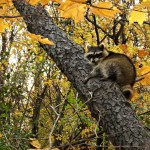 Raccoon-sleeping-in-the-Norway-Maple-trees-during-autumn-at-Morton-Grove-Illinois