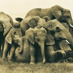 (Source: http://www.martyncolbeck.com/galleries/elephant-collection-2/elephant-family-play-session/)