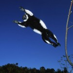 Black and White Ruffed Lemur (c) Martin Harvey (Source: http://www.worldwildlife.org/blogs/good-nature-travel/posts/eleven-leaping-lemur-facts)