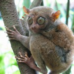 A Philippine Tarsier (Source: By mtoz - originally posted to Flickr as Tarsier, CC BY-SA 2.0, https://commons.wikimedia.org/w/index.php?curid=3814411)
