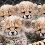 Cheetah Cubs 1_1455741888847_858576_ver1.0_640_360