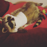 (Source: http://www.buzzfeed.com/krishrach/this-womans-raccoon?bffbanimals&utm_term=.ta0qK4r2w#.joYJN8XbR)