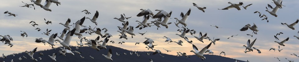 Source: http://lancasteronline.com/news/local/photos-snow-geese-and-counting-flock-to-middle-creek/article_4d83e122-e158-11e5-acf6-8bfff83e19bb.html