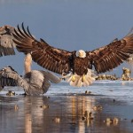 This striking image by Bonnie Block was chosen as the grand prize winner. It shows a swooping bald eagle and great blue herons feasting on fish in Seabeck, Washington.
