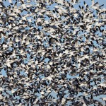 Source: http://www.eastidahonews.com/2016/03/schiess-a-blizzard-of-snow-geese-swooping-in/