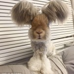 Source: http://www.dailymail.co.uk/femail/article-3103229/Meet-Wally-bunny-wing-like-ears-captured-hearts-thousands-precious-Instagram-pictures.html
