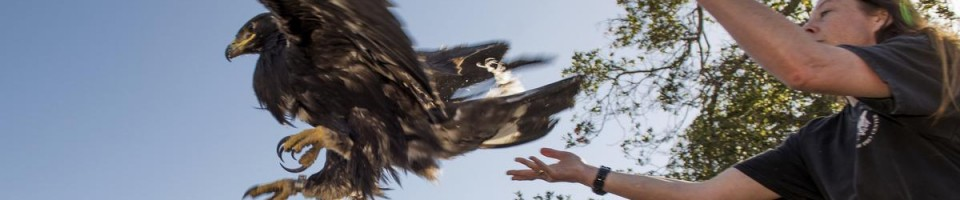 By Leonard Ortiz. http://www.ocregister.com/articles/eagle-721285-golden-fisher.html