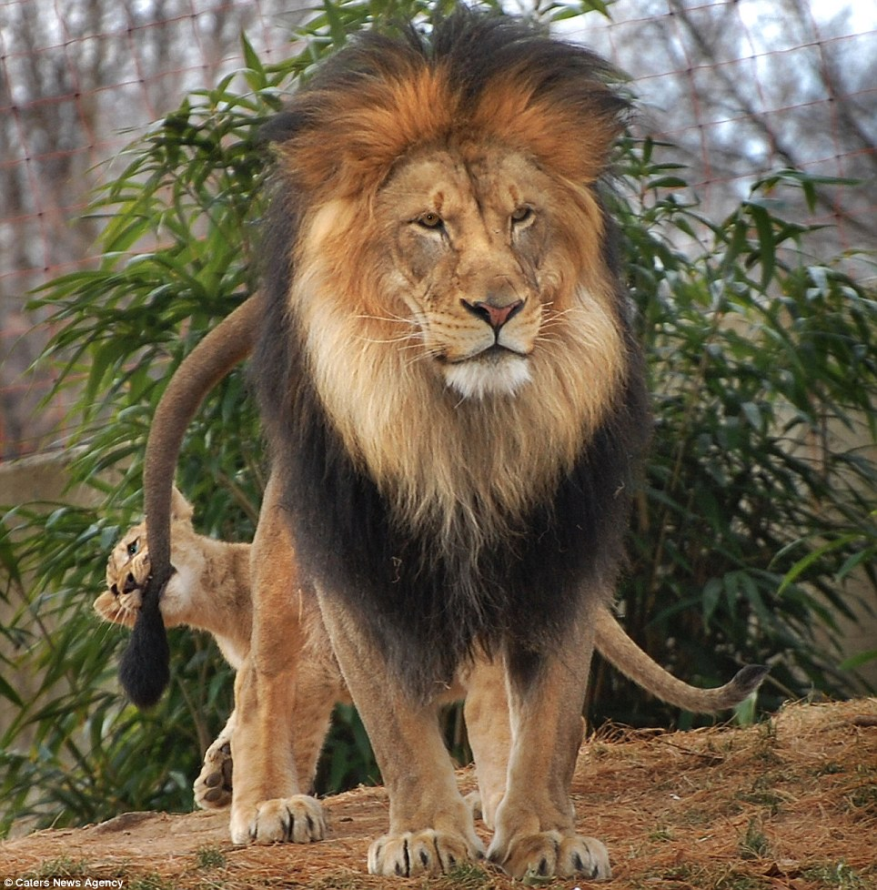 Father-Daughter Day, with Lions | inotternews.com