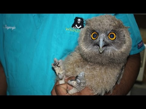 Baby Owl in India has New Lease on Life | inotternews.com